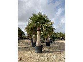 Brahea edulis, Guadalupská palma, původ palmy Španělsko. 450 cm