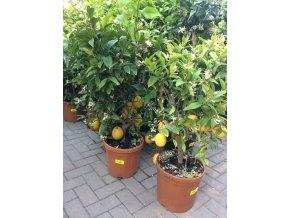 Citrus, citroník. 120 cm