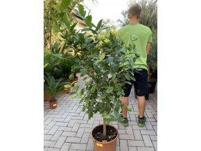 Citrus, citroník. 140 cm