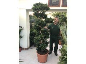 Dracaena Compacta, dracena, původ rostliny Španělsko. 200+ cm