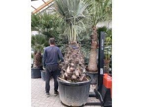 Brahea armata,modrá palma . 200 cm, kmen 50 cm+