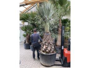 Brahea armata,modrá palma , původ palmy Španělsko. 140-150 cm