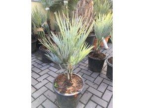 Brahea armata,modrá palma , původ palmy Španělsko. 80 cm