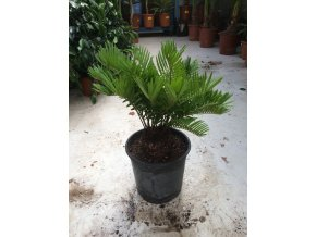 Cycas Floridiana 30 cm