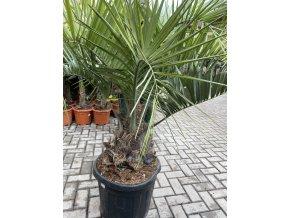 Butia capitata , palma , původ palmy Španělsko 220 cm