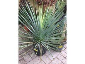 Yucca Rostrata, původ rostliny Španělsko. 50 cm