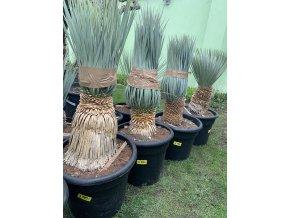 Yucca Rostrata, původ rostliny Španělsko.Výška rostliny 80 cm