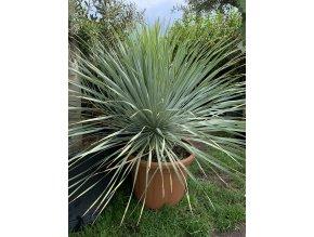 Yucca Rostrata, původ rostliny Španělsko.Výška rostliny 70 cm