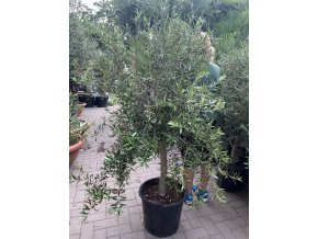 Olea europea , Olivovník.160+ cm, obvod kmene 15 cm.