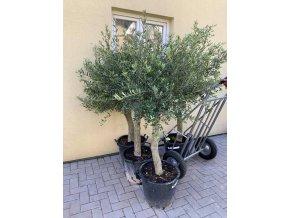 Olea europea , Olivovník.150+ cm, obvod kmene 15 - 20 cm.