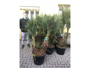 Chamaerops humilis, Trpasličí palma, Žumara, původ palmy Španělsko. 130-140 cm