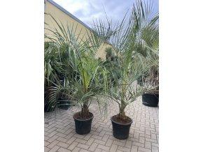 Butia capitata , palma , původ palmy Španělsko. 110 cm