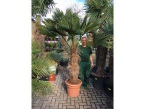 Trachycarpus wagnerianus, Wagnerova palma, 180 cm