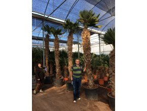 Trachycarpus wagnerianus, Wagnerova palma, 400 cm