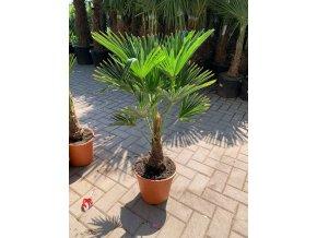 Trachycarpus wagnerianus, Wagnerova palma, kmen 18 cm+, celková výška 90 cm.
