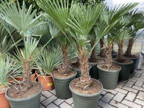 Trachycarpus wagnerianus, Wagnerova palma, kmen 25 cm+, celková výška 110 cm.