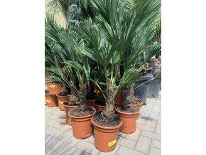 Trachycarpus wagnerianus, Wagnerova palma, 40 cm