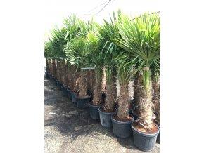 Trachycarpus fortunei, Konopná palma, 170-190 cm, JEDNOTNÁ CENA PRONÁJMU NA 1-7 DNÍ.