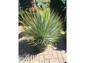 Yucca Rostrata, původ rostliny Španělsko. výška rostliny 50+ cm