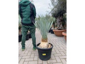Yucca Rostrata, původ rostliny Španělsko. výška rostliny 65+ cm