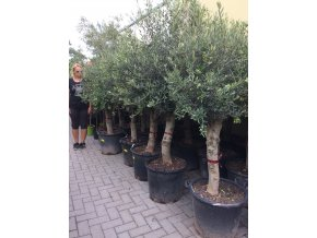 Olea europea , Olivovník. 180 cm, jednotná cena pronájmu na 1-7 dní.