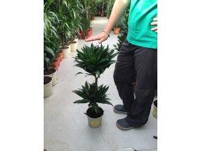 Dracaena compacta, dracena, původ palmy Španělsko 60 cm, JEDNOTNÁ CENA PRONÁJMU NA 1-7 DNÍ.