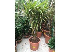 Dracaena marginata, dracena, původ rostliny Španělsko. 130 cm, JEDNOTNÁ CENA PRONÁJMU NA 1-7 DNÍ.