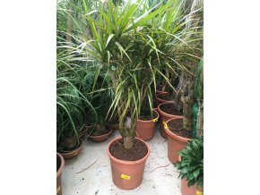 Dracaena marginata, dracena, původ rostliny Španělsko. 130 cm, JEDNOTNÁ CENA PRONÁJMU NA 1-7