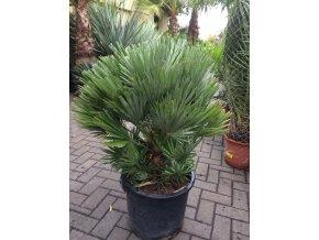 Chamaerops humilis vulcano , palma , původ palmy Španělsko, 120 cm, JEDNOTNÁ CENA PRONÁJMU NA 1-7 DNÍ.