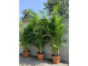 Areca lutescens, chrysalidocarpus, dypsis. 220 cm, JEDNOTNÁ CENA PRONÁJMU NA 1-7 DNÍ.