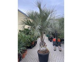 Butia capitata , palma , původ palmy Španělsko. 190 cm