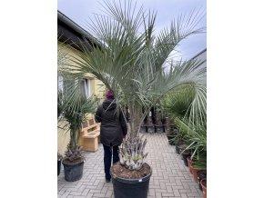 Butia capitata , palma , původ palmy Španělsko. 160-170 cm