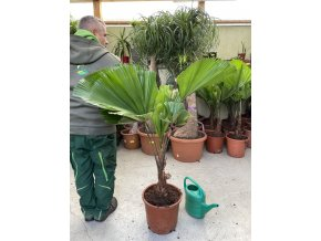 Licuala Grandis , palma. 150 cm