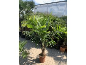 Ravenea Rivularis , palma , původ palmy Španělsko.
