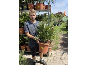 Chamaerops humilis vulcano , palma , původ palmy Španělsko, 130 cm
