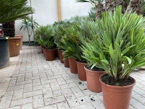 Chamaerops humilis vulcano , palma , původ palmy Španělsko, 75cm