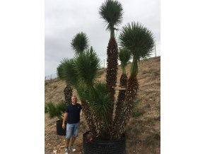 Chamaerops humilis, Trpasličí palma, Žumara, původ palmy Španělsko.