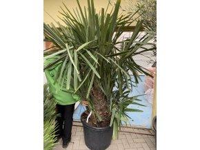 Rhapidophyllum hystrix, mrazuvzdorná palma, původ palmy Španělsko 150 cm