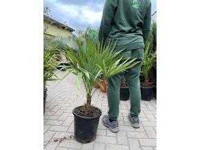 Trachycarpus fortunei, Konopná palma, mrazuvzdorná, původ palmy Španělsko, 100 cm
