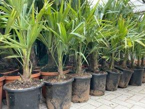 Trachycarpus fortunei, Konopná palma, mrazuvzdorná, původ palmy Španělsko, knen 20 cm, 110+ cm