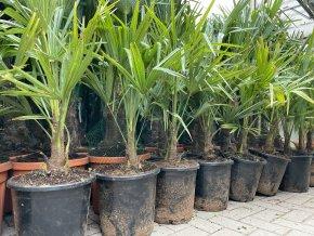 Trachycarpus fortunei, Konopná palma, mrazuvzdorná, původ palmy Španělsko, knen 15 cm+, 90+ cm
