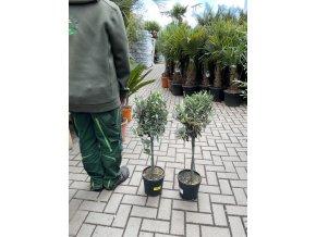 Olea europea - Olivovník 80 cm