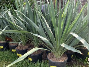Yucca gloriosa, juka, 60 cm
