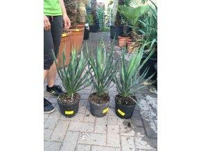 Yucca gloriosa, juka, původ Španělsko. 30 cm