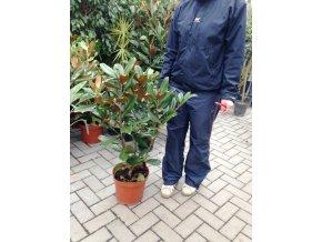 Magnolie grandiflora Gallissoniensis, původ rostliny Španělsko. 130+ cm