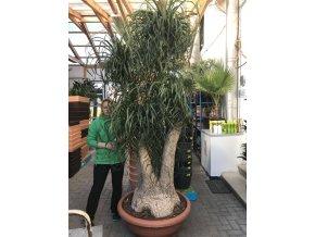 Beaucarnea guatemalensis, sloní noha, původ rostliny Španělsko, 190 cm