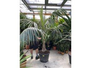 Howea forteriana, palma, původ palmy Španělsko 160 cm, jeden kmen.