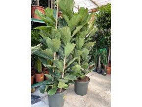 Ficus Lyrata, původ rostliny Španělsko. 180 cm