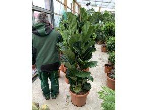 Ficus Lyrata, původ rostliny Španělsko. 170 cm+, stromek.