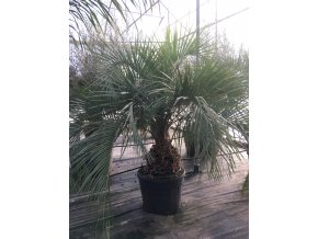 Butia eriospatha , palma , původ palmy Španělsko. 220 cm, mrazuodolnost max -5°C!!